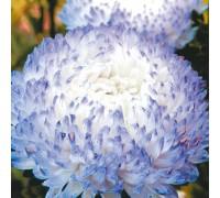 Астра Изменчивая голубая