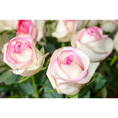 Роза Бела Вита
