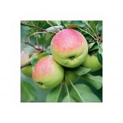 Яблоня карлики Мазунина