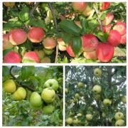 Яблоня обыкновенная