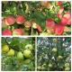 Плодовые саженцы яблони обыкновенной