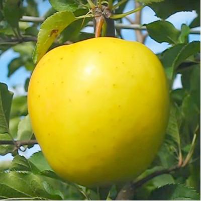 Яблоня Голден Владимирский (суперкарлик)