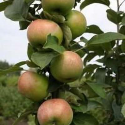 Яблоня  Касатка