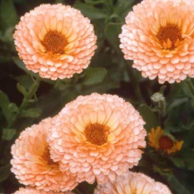 Календула Розовая красавица махровая