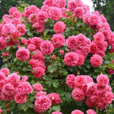Роза Розариум Утерсен