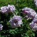 Роза Голубой Нил
