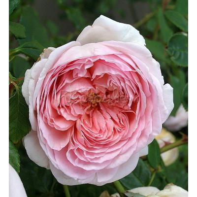 Роза Хэритейдж