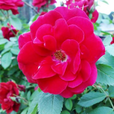 Роза Хелло