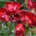 Роза Никитская 2012
