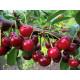 Саженцы плодовые Вишнево-черешневый гибрид