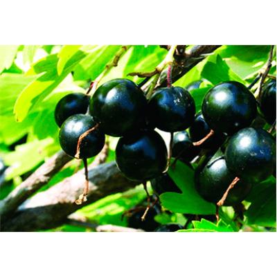 Саженцы Смородина черная Жемчужина
