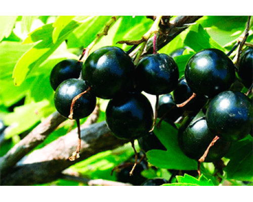 Смородина черная Жемчужина