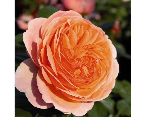 Роза Чиппедейл