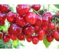 Вишнево-черешневый гибрид Краса Севера