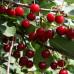 Саженцы Вишнево-черешневый гибрид Краса Севера