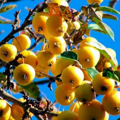 Саженцы Яблоня Китайка золотая ранняя
