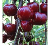 Вишнево-черешневый гибрид Кормилица