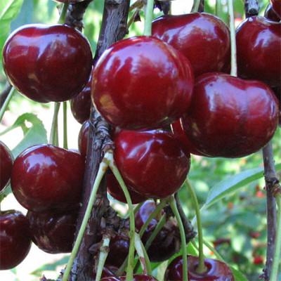 Саженцы Вишнево-черешневый гибрид Кормилица