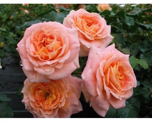 Роза Концерто