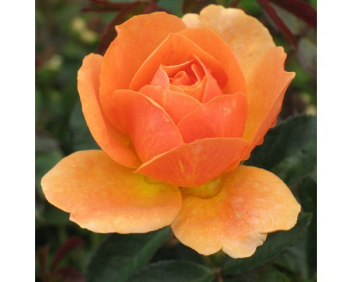 Роза Элисон