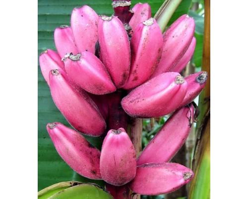 Банан комнатный Роза бархат