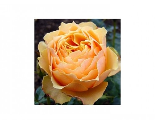 Роза Генриетта