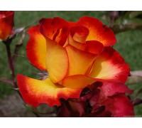 Роза Майн Мюнхен