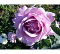 Роза Шарль де Голь