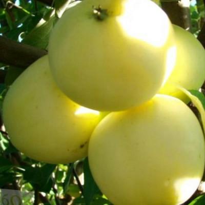 Саженцы Яблоня Подарок осени