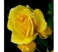 Роза Карт де Ор