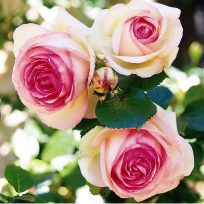Роза Эден Розе