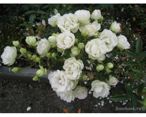 Роза Снипринцесса