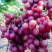 Саженцы Виноград Ливия