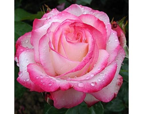 Роза Ламинуэт