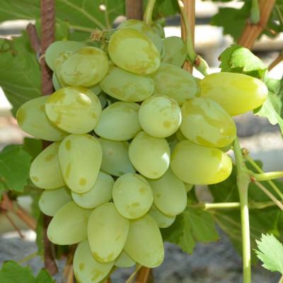 Саженцы Виноград Долгожданный