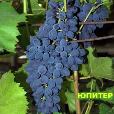 Саженцы Виноград Юпитер - NEW