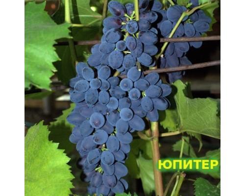 Виноград Юпитер - NEW