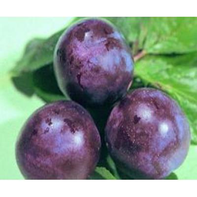 Саженцы Сливово-вишневый гибрид Бета