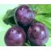 Сливово-вишневый гибрид Бета