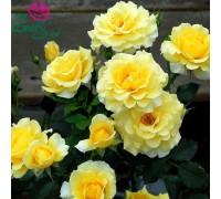 Роза Казино