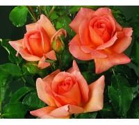 Роза Замбра
