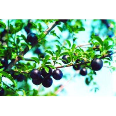Саженцы Сливово-вишневый гибрид Омская ночка