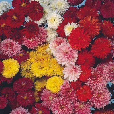 Хризантема Крупноцветковая смесь