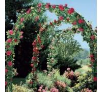 Набор Плетистые розы (3 сорта)