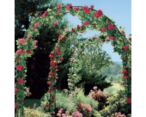 Набор Плетистые розы (3 сорта по 1 шт)