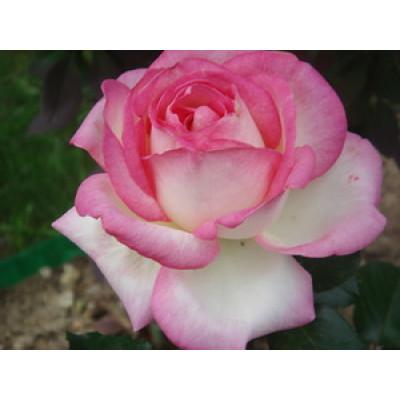 Роза Принцесса Монако
