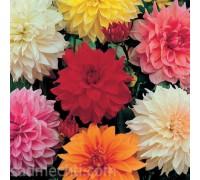 Набор Крупноцветковых георгин (3 сорта)