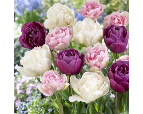 Набор Махровые Тюльпаны (3 сорта по 1 шт)