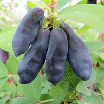Саженцы Жимолость  Голубой Банан (Блю банана)