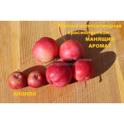 Саженцы Яблоня Манящий аромат